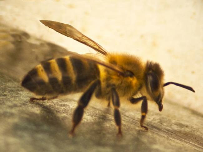 Bee Venom Destroys The Virus HIV!