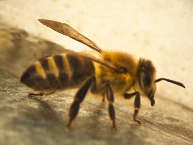 Bee Venom Destroys The Virus HIV!